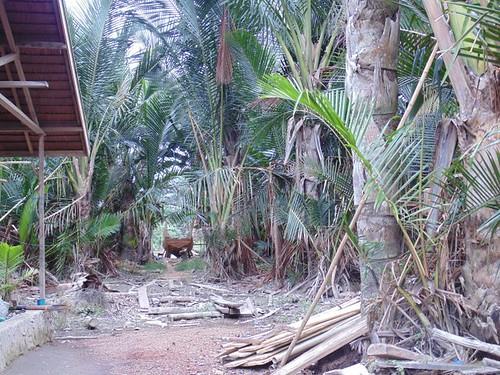 Sagoo plantation near by the river