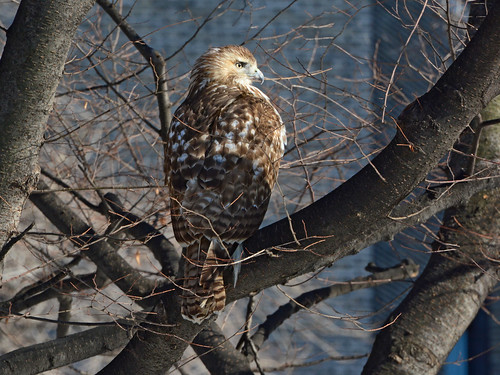 Riverside Red-Tail - 5137