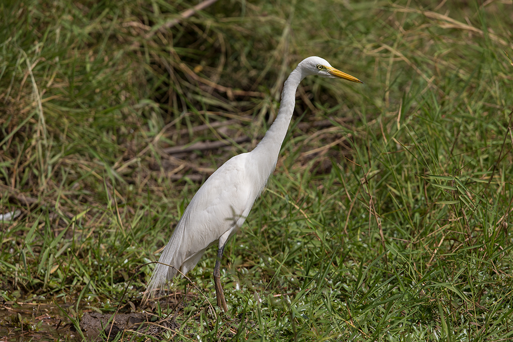 Intermediate Egret   Gambia