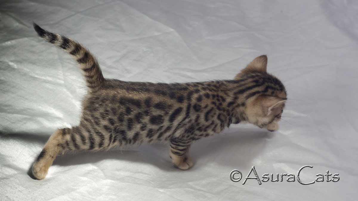 AsuraCats Lightning Bolt - Brown rosetted Bengal kitten