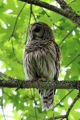 Barred Owl at Golden Gardens