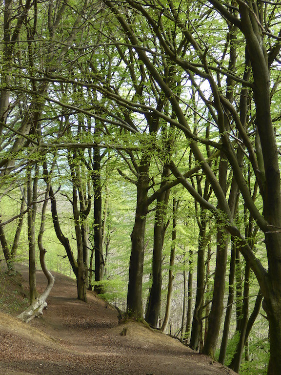 Beech trees on Black Down Haslemere to Midhurst walk