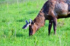 Elk at Neal Smith National Wildlife Refuge
