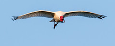 ibis approaching