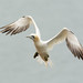 Gannet in flight by Lesley Danford