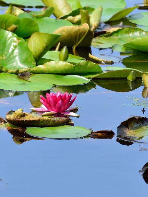 スイレン Water lily