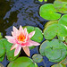 Love those Water Lilies! by jcc55883