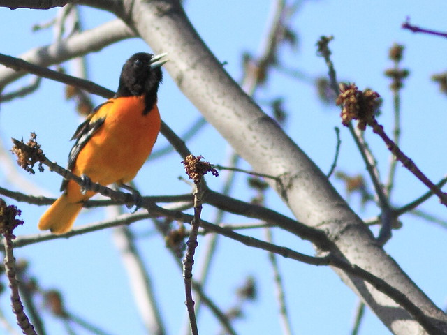 Baltimore Oriole 20130507
