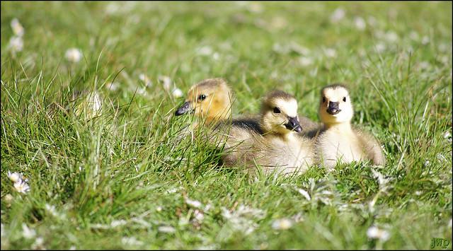 Goslings at Stanley Park