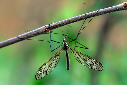 nature fly wings nikon legs crane natur hane mosqito tipula d90 mygga varipennis storharkrank