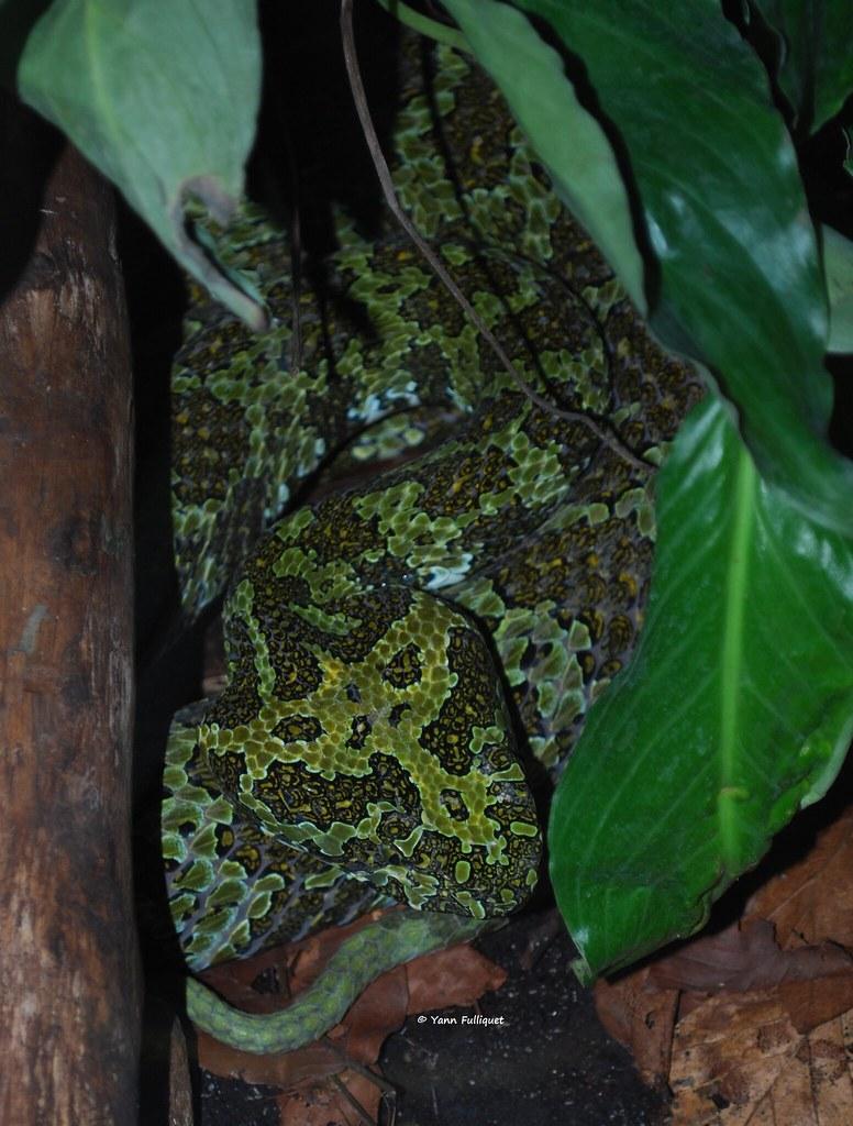 Protobothrops mangshanensis : Vivarium de Lausanne Suisse 8952524556_c59b0c4341_b