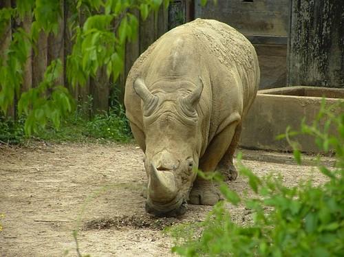 Черный носорог пополнил список вымерших видов