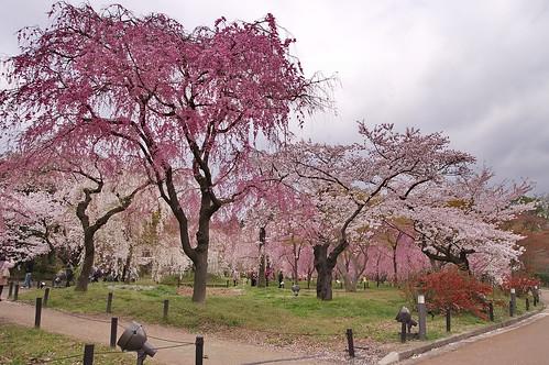 【写真】桜 : 京都府立植物園