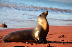 Sea Lion, Galápagos Islands