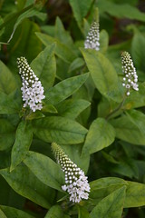 LYSIMACHIA clethroides 'Lady Jane'
