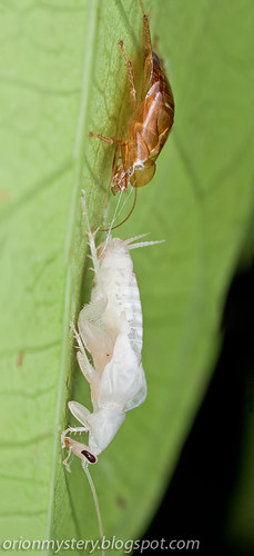 A molting cockroach IMG_7615 merged copy