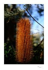 Hexar Banksia