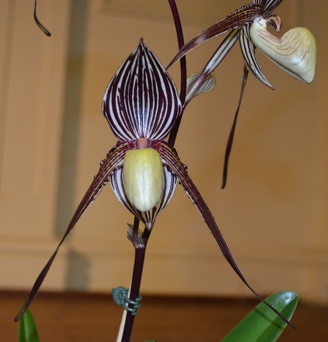 Paph Saint Swithin 'Merrylyn'