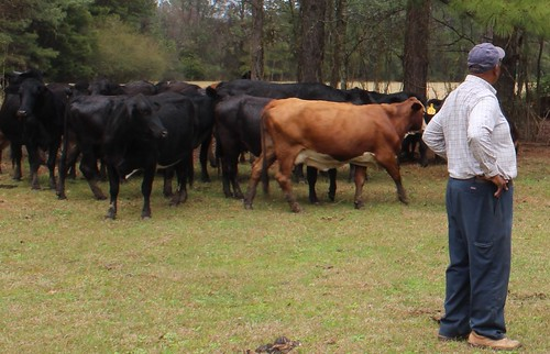 Angus beef cattle graze on the Leake County, Miss. ranch. NRCS photo.