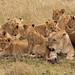 Lion Pride by kerrybluett100
