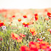 Beautiful Poppies by Sasha L'Estrange-Bell