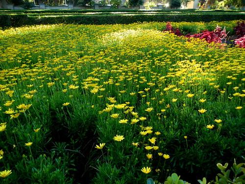 field o' daisies