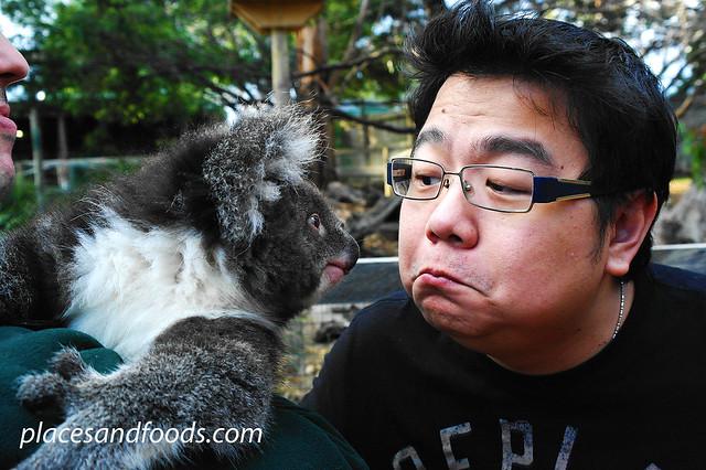 bonorong koala
