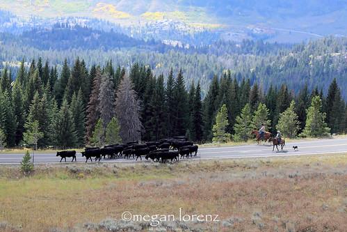 Cattle Drive by Megan Lorenz