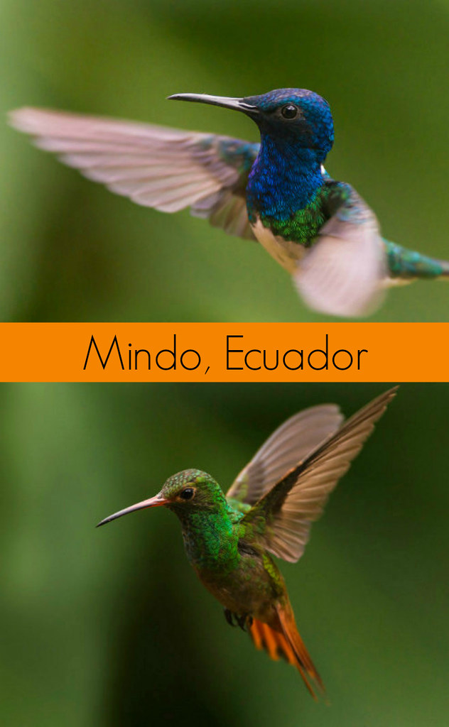 Hummingbirds in Mindo, Ecuador