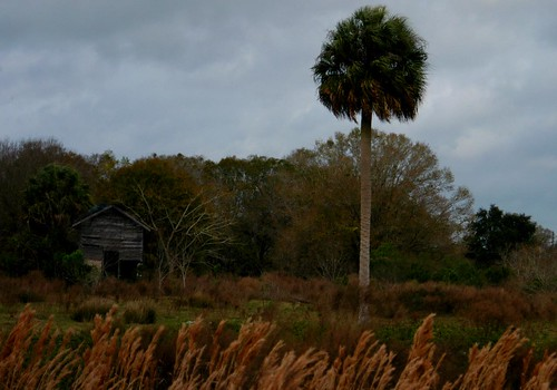 old trees dusty nature field grass weather barn rural project dead day florida cloudy decay windy stormy disney palm pasture fl savannah wilderness foilage pixels fla preserve palmetto sensor autofocus sabal conservency
