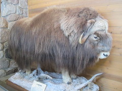 pet(0.0), capybara(0.0), cattle-like mammal(1.0), animal(1.0), mammal(1.0), fauna(1.0), muskox(1.0),