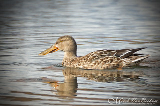 Big Mouth (Female Northern Shoveler)