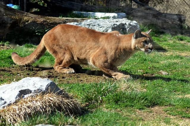 Crouching Puma