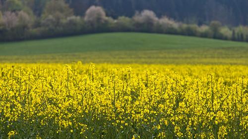 green yellow canon germany deutschland thüringen spring blossom thuringia gelb grün raps frühling blüten eichsfeld ef24105mmf4lisusm canoneosd canoneos5dmarkii