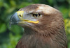 Steppe Eagle by Buggers1962