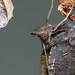 Small photo of Small Tortoiseshell (Aglais urticae) butterfly
