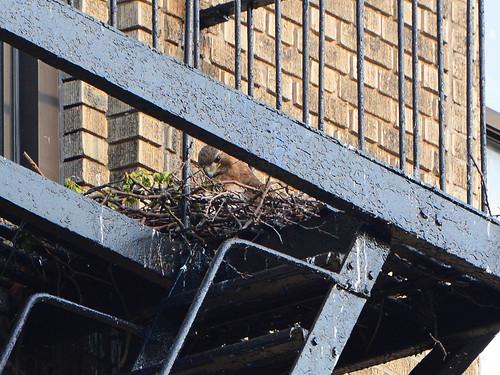 JHW Hawk Nest (8334)