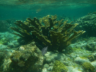Elkhorn Coral see while Snorkeling on the Cayman Barrier Reef