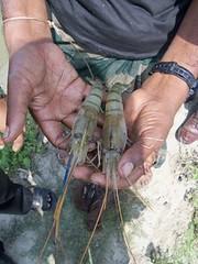 Fresh water prawn in Bangladesh