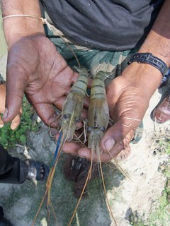 Fresh water prawn in Bangladesh