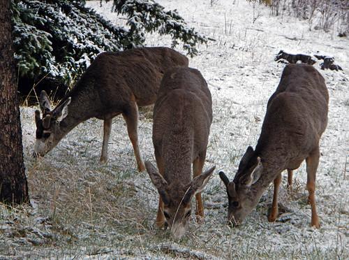 Mule Deer in Banff