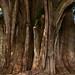 El Árbol del Tule por Thomas Roland