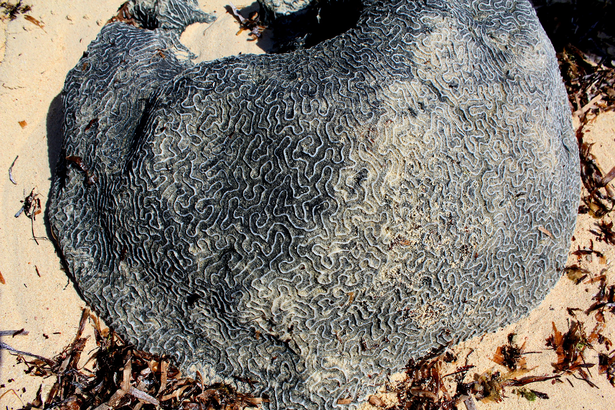 brain coral grand turk turks and caicos bvi