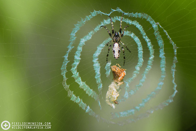 A Trashline Orb-Web Spider- Cyclosa sp. ♀