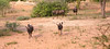 blue wildebeests at Waterfall Lodge