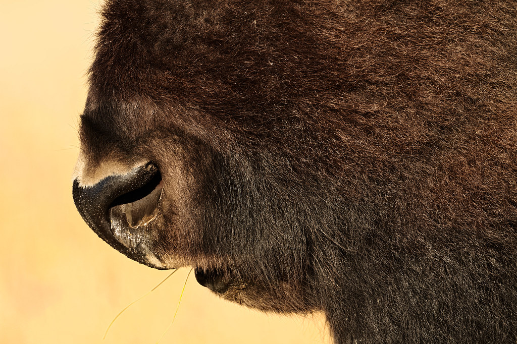 A close-up view of the mouth and face of an American bison in Grand Teton National Park
