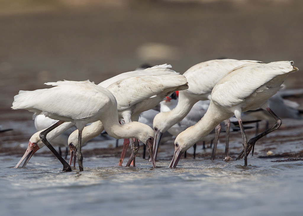African Spoonbill   Gambia