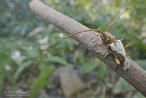Acalolepta biocellata_MG_0627 copy