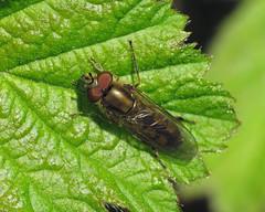 Platycheirus manicatus