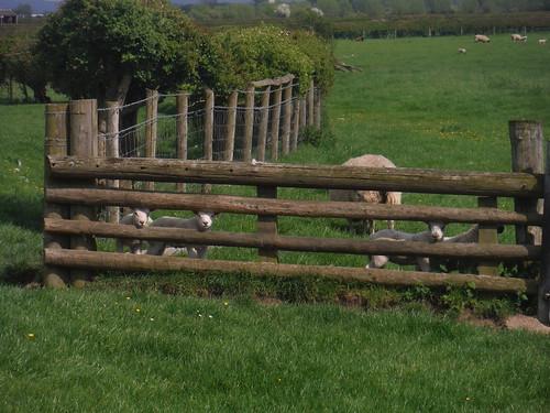 Curious Sheep, near Shabbington